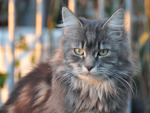BE_mainecoon_AbbayeBouchegnie