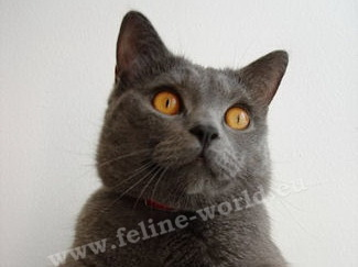 CHARTREUX-male_2