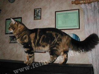 MAINECOON-browntabbyblotched