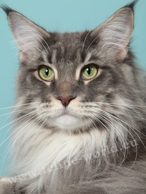 maine_coon_4 (Race)